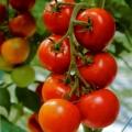 Pomidorai.jpg